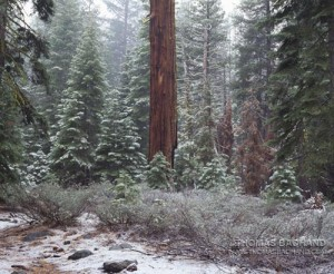 Cedar in snow.  Tahoma, California