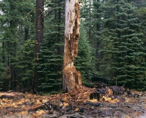 Decayed stump, <b>Risperdal alternatives</b>.  <b>Fast shipping Risperdal</b>, Sugar Pine Point State Park, California