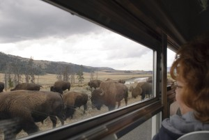 Buffalo on Road in Lamar Valley by Janet Pritchard