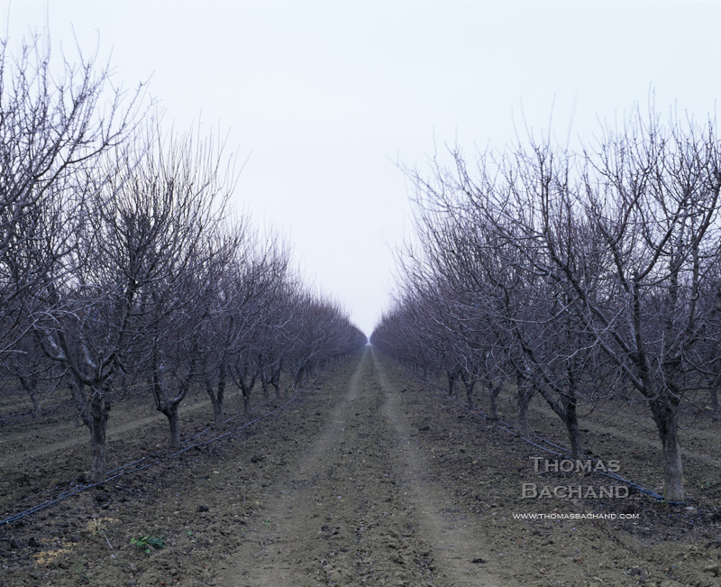 Fallow orchard. Great Central Valley. California.