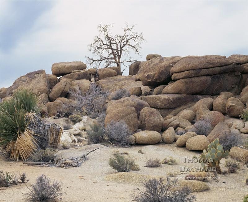 Snag.  Joshua Tree National Park. California.