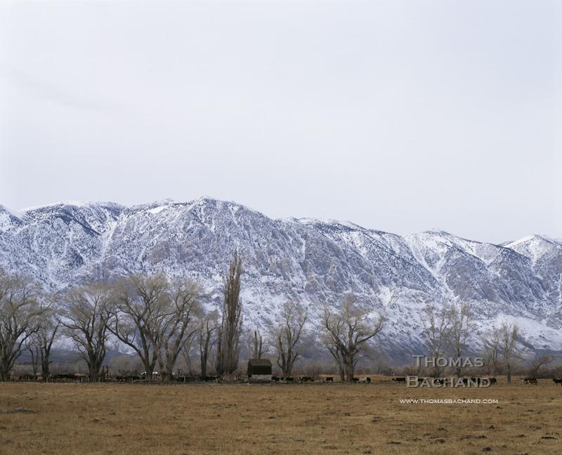 Cattle Against Eastern Sierra.  Lone Pine, California.