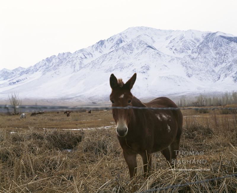 Donkey. Eastern Sierra. California