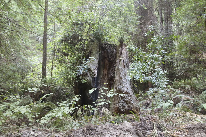 Old Growth Stump. Fort Bragg, CA.