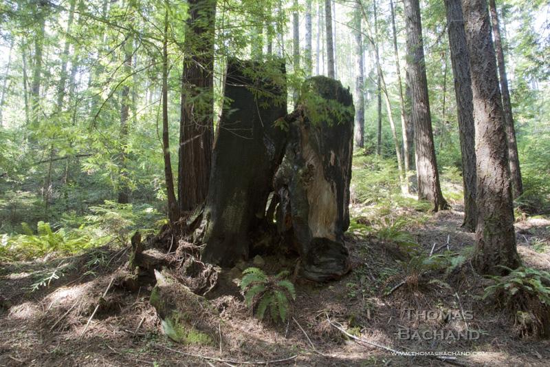 Burnt Redwood Stump