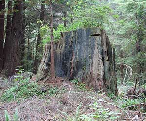 Redwood stump with lumberjack steps
